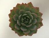 Succulent Plant - Echeveria Sunburst