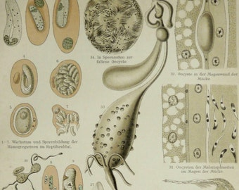 1897 Antique print of MICROORGANISMS. Unicellular organisms. 119 years old nice print.