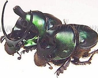 Onthophagus Mouhoti Scarab Beetle Pair A1 Specimens