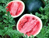 Watermelon Sugar Baby Heirloom Seeds Icebox Melon Non-GMO Naturally Grown Open Pollinated