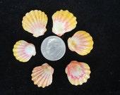 6 dime to nickel sized  - Classic Kauai Sunrise Shells -
