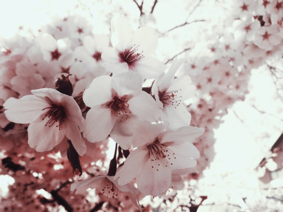 Fine Art Photography Digital Download Cherry Blossom White Light Flower Blossoming Printable Art Photo Photograph
