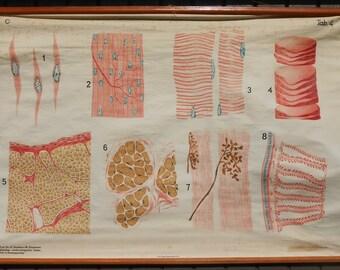 Vintage Belgian School Chart of Muscle Tissue