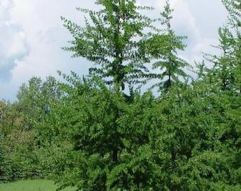 1000 American Larch Tree Seeds, Larix Laricina
