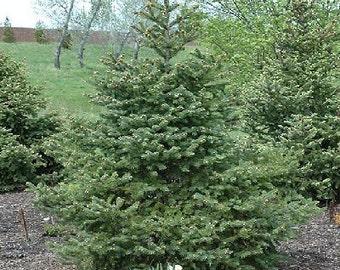 50 Wilson's Spruce Tree Seeds, Picea wilsonii