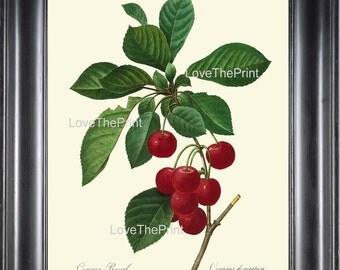 BOTANICAL PRINT Redoute Flower  Botanical Art Print 35 Beautiful Red Cherries Branch Plant Garden Nature to Frame Home Decor