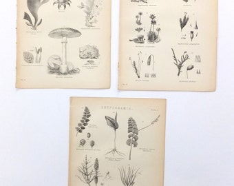 Fungi, 3 Bookplates, Antique PIctures, 19th Century Black and White Pictures, Cryptogamia Thallophytes, Home Decor