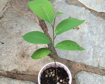 SPECIAL!! TWO for one Cherimoya or Custard Apple seedling tree sapling plant ~ Best Fruit on Earth annona cherimola