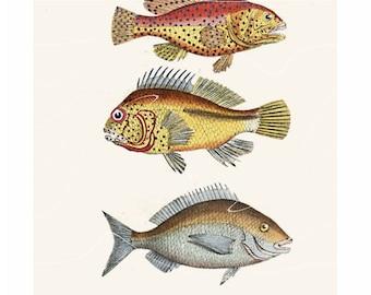 Antique Natural History Print Sea Bream Fish Sparidae Porgy