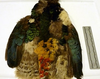 Lady Amherst Pheasant hide, with wings