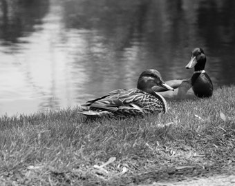 Black and White Couple Pair of Ducks By a Pond Fine Art Photo Print Home Wall Decor by Rose Clearfield on Etsy