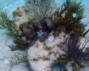 Lionfish in the Cayman Islands -- Choose your Size