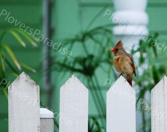 Bird Photo // Cardinal Photo // Female Cardinal on White Picket Fence // Florida Nature Bird Photography Print