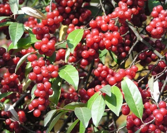 50 Seeds Elaeagnus umbellata Seeds, Autumn Olive Seeds