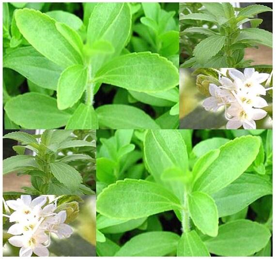 stevia rebaudiana herb seeds sugar leaf or sweet leat. Black Bedroom Furniture Sets. Home Design Ideas