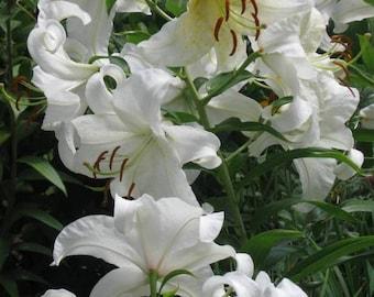 Lilies 8 x 10