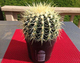 Cactus Plant. The Mature Golden Barrel Cactus is a spherical shaped cactus.