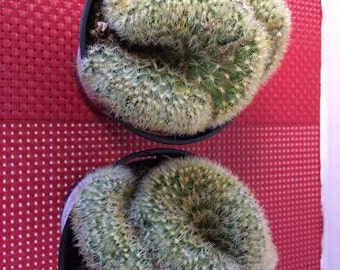 Cactus Plant. Mammillaria Elongata Cristata, or Brain Cactus. It certainly resembles the Human Brain.