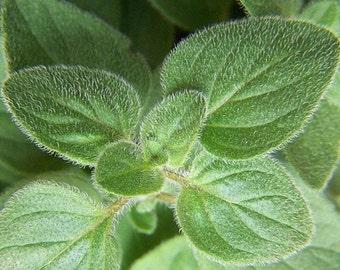 """Greek Oregano Herb - Good Scents - Organum - 3"""" Pot"""