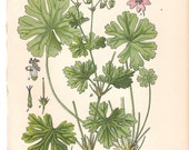 Antique Botanical print German late 1800's