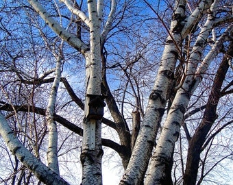 Tree Photography, Nature Photography, Birch Tree, Photography, Wall Decor