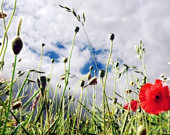 Field of Poppy Photography