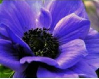 Purple Anemone Flower Seeds / Perennial   30+