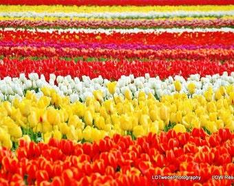 Flower Photograph, Tulip Fields, Tulip Festival, Nature Photograph, Floral Landscape, Orange, Yellow, Red, Floral Art, Fine Art,Tulip Art
