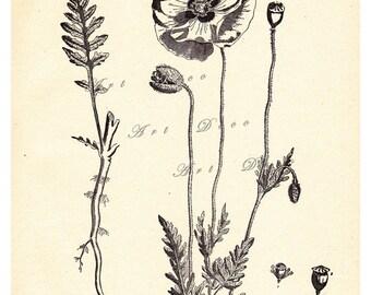 vintage botanical print, Poppies, Papaver Rhoeas (Common Red Poppy) digital print  no. 655