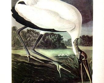 Northern Phalarope, Wood Ibis - Audubon Bird Print -12 x 9 - 1942 Vintage Book Page