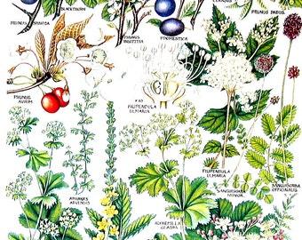 Flower Print - Cherry Laurel, Wild Plum, Common Agrimony - 1965 British Flowers  Vintage Book Plate  P26