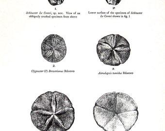 Prehistoric Age - Invertebrate Fossils - 1938 Vintage Dinosaur Book Page