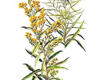 Seaside Goldenrod, Grass Leaved Goldenrod Flowers - Botanical Print - 1954 Vintage Book Page - 11 x 8