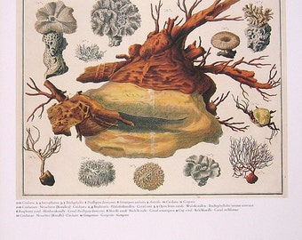 Toadstools, Open Brain Coral, Raspberry Coral, Cup Coral - Seba Book Print - Cabinet of Natural Curiosities - 13 x 9