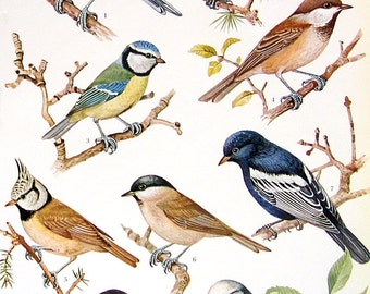 Bird Print - Long Tailed Tit, Tufted Titmouse, Tree Creeper, Coal Tit, Crested Tit - 1973 Vintage Bird Print - 2 Sided Page - Encyclopedia