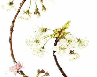 Vintage Flower Print - Botanical Print - Flowering Cherry Tree - Cherry Blossom - Language of Flowers - Flower Wall Art - Marilena Pistoia