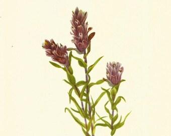 Flower Print - Pale Paintbrush - Vintage Wild Flower Print - Botanicals- Wild Flower of America - Lance Leaf Paintbrush - Mary V Walcott