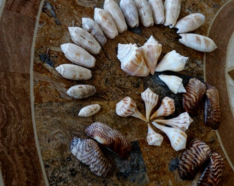 Seashells Florida Seashore Beach Variety Pack Lot 11