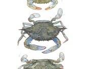 Blue Crabs Watercolor Painting Print, coastal beach art
