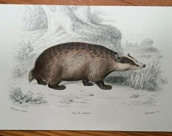 1787 badger mini animal prints original antique print hand coloured engraving