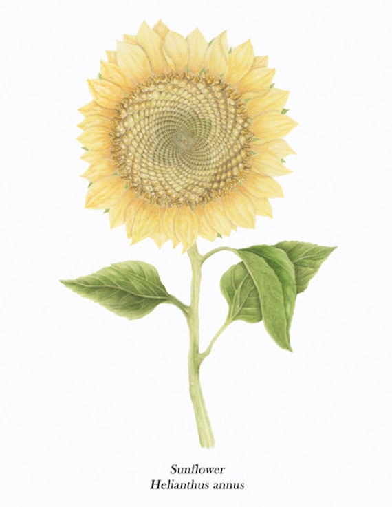 Sunflower BOTANICAL PRINT