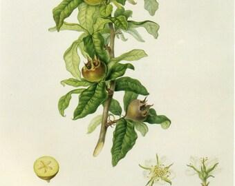 Medlar Plant Print by Hooker Book Plate SALE Buy 3, get 1 FREE