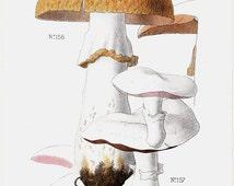 1901 Antique MUSHROOMS print, edible mushrooms, setae, fungi, wild mushrooms