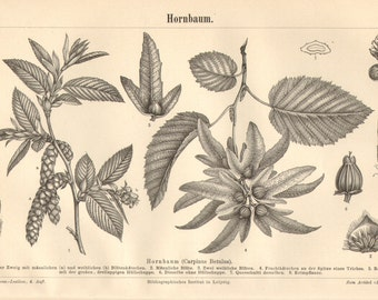 1890 Leaves, Flowers, Catkins and Buds of the European Hornbeam Original Antique Engraving to Frame