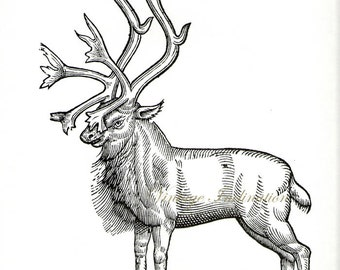Antique Print, Woodcut of Reindeer with antlers 1, wall art vintage b/w lithograph illustration animal natural history chart