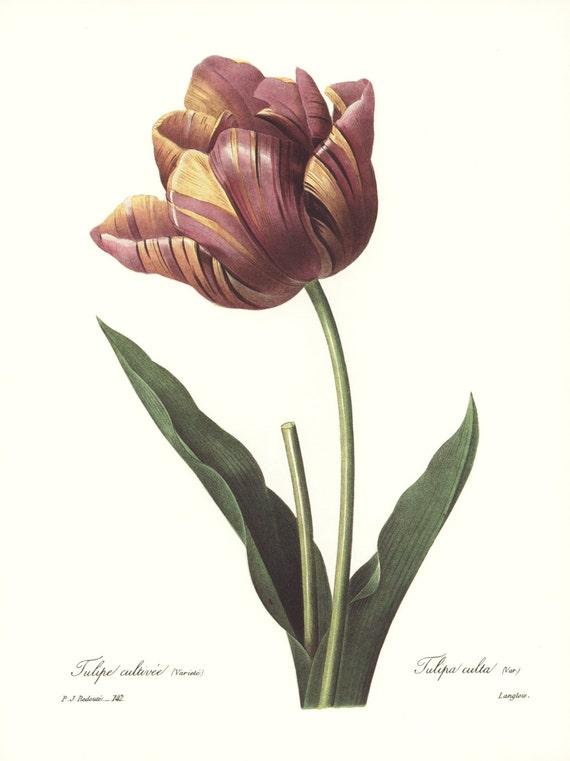 Botanical Illustration Ribbon Tulip Art Vintage Redoute