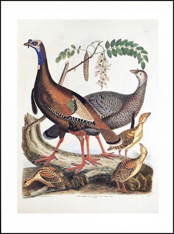 "Bird Print, Bird Art Print ""Wild Turkeys"" --- Vintage Bird Illustration, Autumn Home Decor to Frame  No. 53"