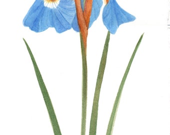 Blue Wild Iris 9x15 Original Watercolor by Wanda's Watercolors