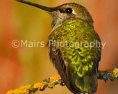 Rust Gold Iridescent Green Shimmer, Anna's Hummingbird, Bird Photography, Fine Art Photography matted & signed 5x7 Original Photograph