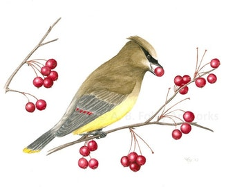 Original Bird Illustration of Cedar Waxwing, Yellow Bird in Tree Eating Red Berries, Gouache Bird Art 8X10